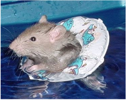 rat-swimming