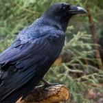 critical crow