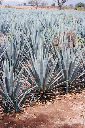 high fat storage agave plant